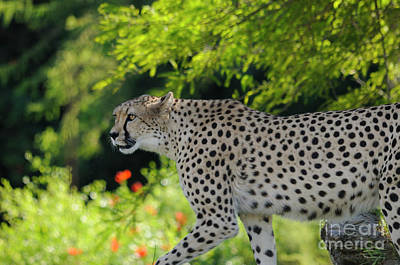 Cheetah Art Print by Marc Bittan