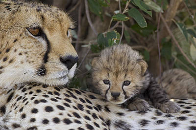 Photograph - Cheetah Mother And 7 Day Old Cub Maasai by Suzi Eszterhas