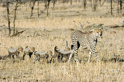Photograph - Cheetah Mother And Cubs by Gregory G Dimijian MD