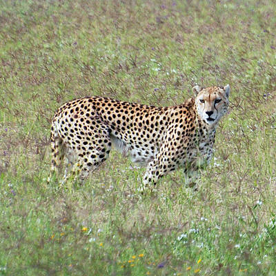 Photograph - Cheetah Of Ngorongoro by Harvey Barrison