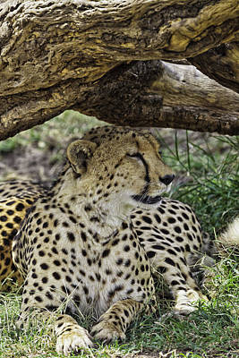 Photograph - Cheetah Resting by Perla Copernik