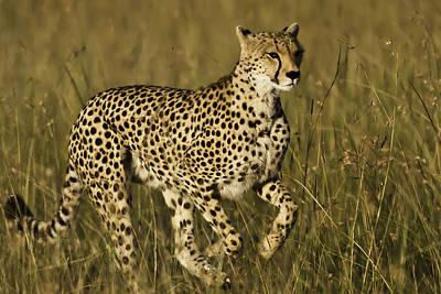 Photograph - Cheetah Running by Manoj Shah