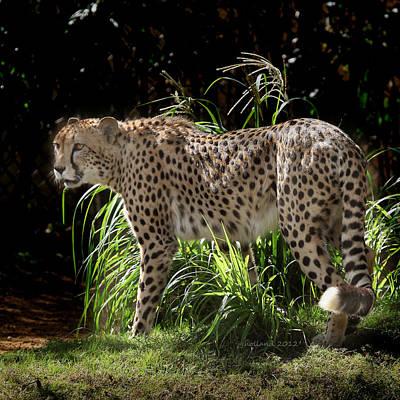 Photograph - Cheetah Stalk by Joseph G Holland