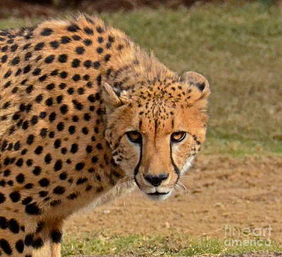 Photograph - Cheetah Stare by Carol  Bradley