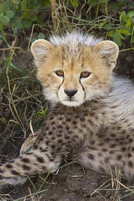 Cheetah Ten Week Old Cub Portrait Art Print