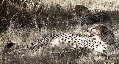 Photograph - Cheetahs by Tina Broccoli