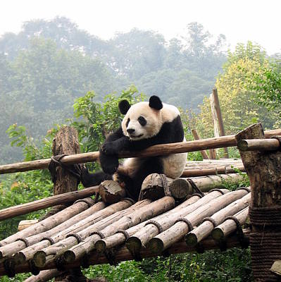 Chengdu Panda Art Print by Carla Parris