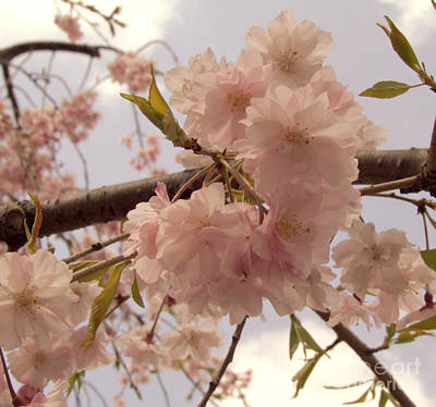 Art Print featuring the photograph Cherry Blossom 2 by Andrea Anderegg