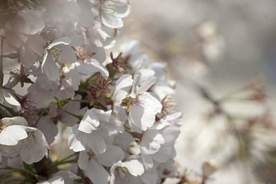 Art Print featuring the photograph Cherry Blossom 2 by Lisa Missenda