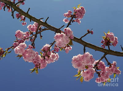 Moody Trees - Cherry Blossom 3 by John Chatterley