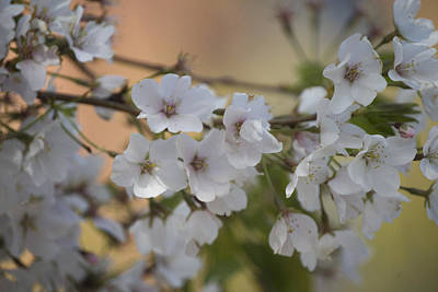 Art Print featuring the photograph Cherry Blossom 4 by Lisa Missenda