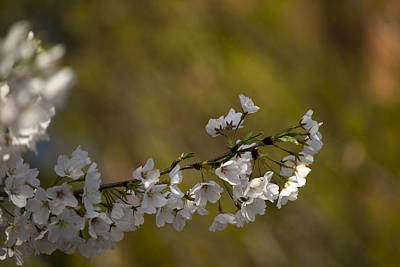 Art Print featuring the photograph Cherry Blossom Branch by Lisa Missenda