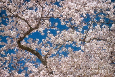 Flower Photograph - Cherry Blossom Branches by Susan Isakson