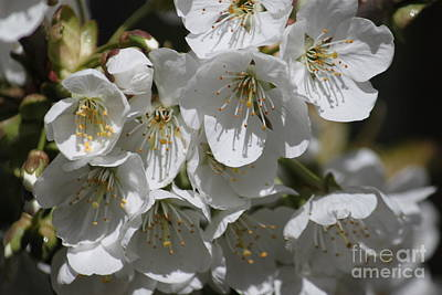 Photograph - Cherry Blossom Cluster by Terri Thompson
