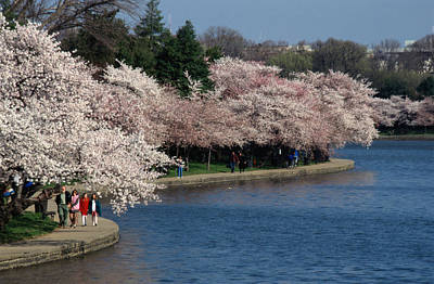 Cherry Blossom Festival, Jefferson Art Print by Richard Nowitz