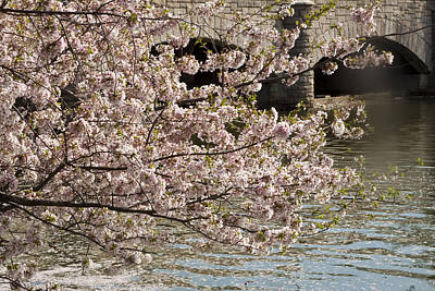 Cherry Blossom On Potomic Art Print by Darleen Stry
