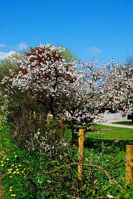 Cherry Blossom Art Print by Peter Jenkins