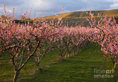 Orchards Photograph - Cherry Blossom Pink by Mike  Dawson