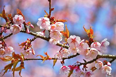 Cherry Blossoms Photograph - Cherry Blossom by T. Kurachi