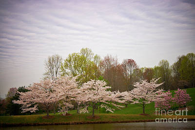 Cherry Blossoms At Meadowlark Art Print