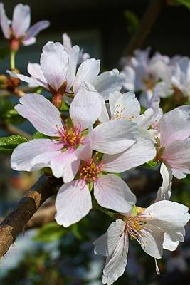 Photograph - Cherry Blossoms by Bruce Bley