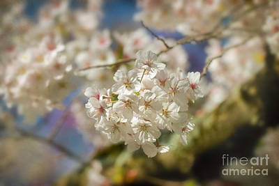 Cherry Blossoms Close Up Art Print by Susan Isakson