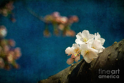 Cherry Blossoms Close Up Three Art Print by Susan Isakson