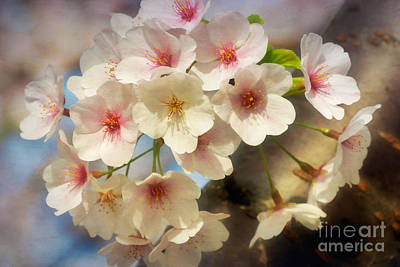 Cherry Blossoms Close Up Two Art Print by Susan Isakson