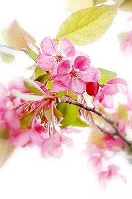 Cherry Blossoms Photograph - Cherry Blossoms by HD Connelly