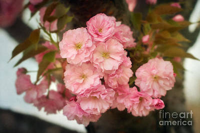 Cherry Blossom Photograph - Cherry Blossoms Kanzan by Susan Isakson