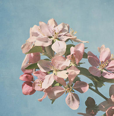 Cherry Blossoms Print by Kim Hojnacki