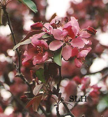 Photograph - Cherry Blossoms by Lee Hartsell