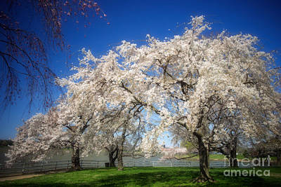 Cherry Blossom Photograph - Cherry Blossoms On The Potomac by Susan Isakson