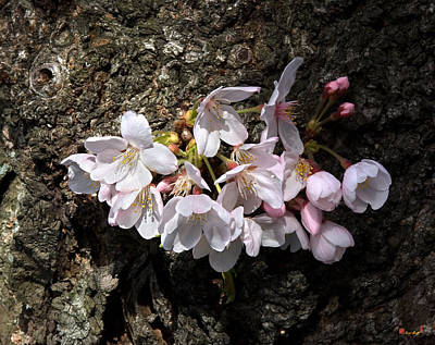 Photograph - Cherry Blossoms On The Tree's Trunk Ds015 by Gerry Gantt