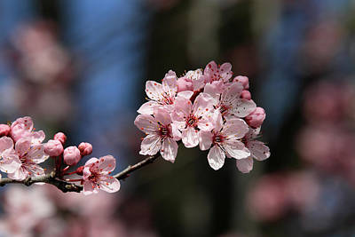 Photograph - Cherry Blossoms by Pierre Leclerc Photography