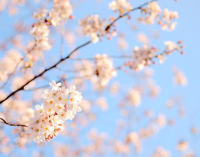 Cherry Blossoms Photograph - Cherry Blossoms by Takau99