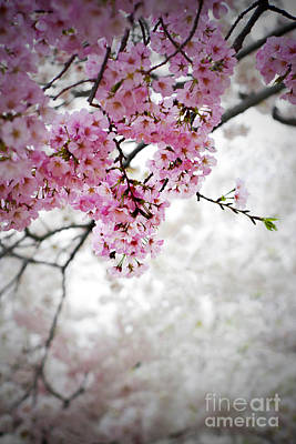 Photograph - Cherry Dreams by Jane Brack