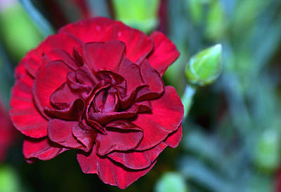 Cherry Red Carnation Art Print by Sandi OReilly