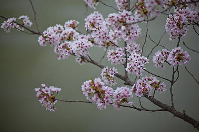 Cherry Tree Blossoms Hang Art Print by Hannele Lahti