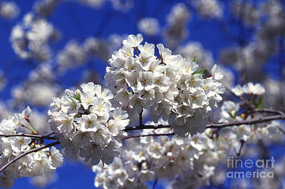 Rosaceae Photograph - Cherry Tree Blossoms by Science Source