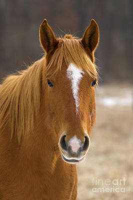 Photograph - Chestnut Mare by Steve Stuller