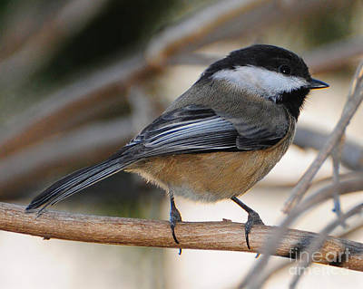 Photograph - Chickadee 2 by Jack Moskovita
