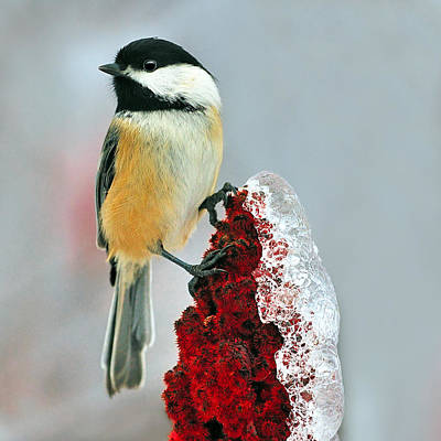 Sumac Photograph - Chickadee After The Ice Storm by Tony Beck