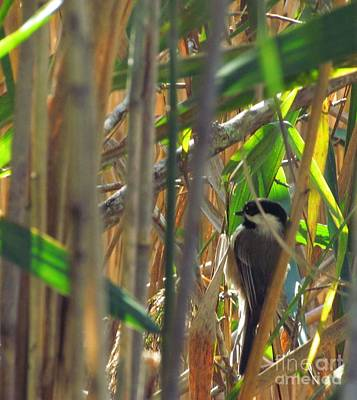 Pop Art Rights Managed Images - Chickadee among the grasses Royalty-Free Image by Rrrose Pix