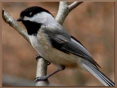 Artist Debra Vatalaro Mixed Media - Chickadee Bird by Debra     Vatalaro