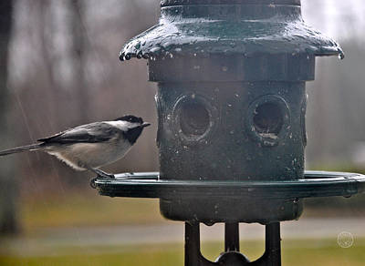 Photograph - Chickadee In The Rain by Healing Woman