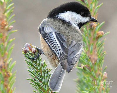 Photograph - Chickadee by Jack Moskovita