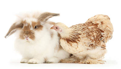 Photograph - Chicken And Rabbit by Mark Taylor