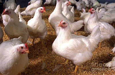 University Of Maryland Photograph - Chickens by Science Source