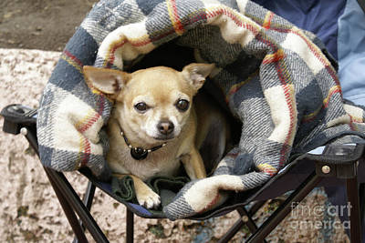 Photograph - Chihuahua In A Blanket by John  Mitchell